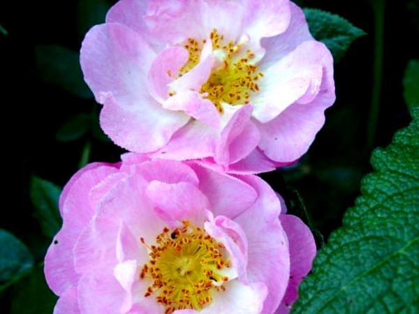 Damask Rose (Rosa Damascena) http://www.sagebud.com/damask-rose-rosa-damascena/