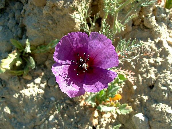 Roemeria (Roemeria) http://www.sagebud.com/roemeria-roemeria