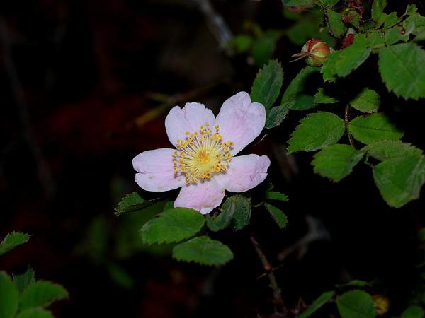 Dwarf Rose (Rosa Gymnocarpa) http://www.sagebud.com/dwarf-rose-rosa-gymnocarpa/