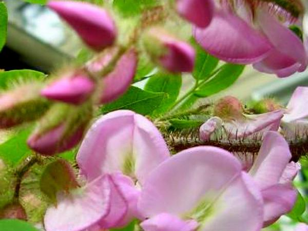 Bristly Locust (Robinia Hispida) http://www.sagebud.com/bristly-locust-robinia-hispida
