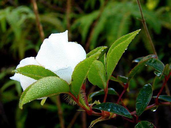 Cherokee Rose (Rosa Laevigata) http://www.sagebud.com/cherokee-rose-rosa-laevigata