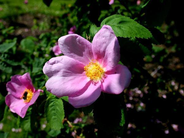 Double Cinnamon Rose (Rosa Majalis) http://www.sagebud.com/double-cinnamon-rose-rosa-majalis