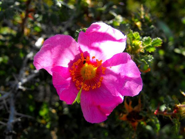 Baja Rose (Rosa Minutifolia) http://www.sagebud.com/baja-rose-rosa-minutifolia