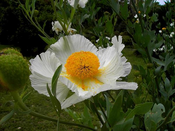 Matilija Poppy (Romneya) http://www.sagebud.com/matilija-poppy-romneya