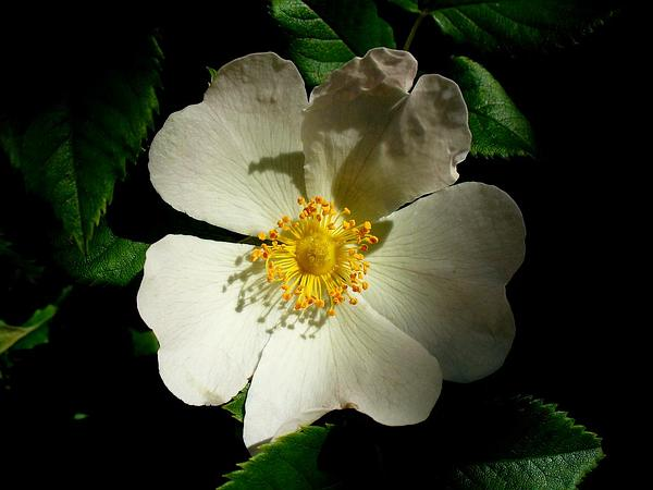 Musk Rose (Rosa Moschata) http://www.sagebud.com/musk-rose-rosa-moschata