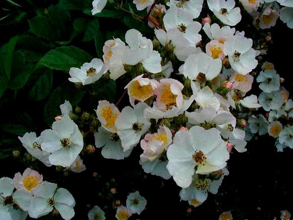 Multiflora Rose (Rosa Multiflora) http://www.sagebud.com/multiflora-rose-rosa-multiflora