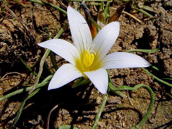 Romulea (Romulea) http://www.sagebud.com/romulea-romulea/