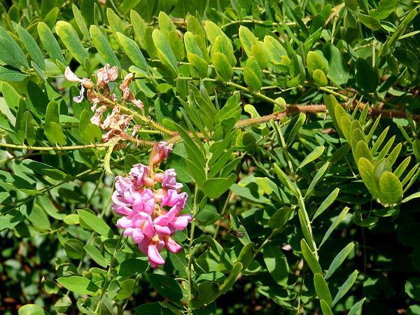 New Mexico Locust (Robinia Neomexicana) http://www.sagebud.com/new-mexico-locust-robinia-neomexicana/