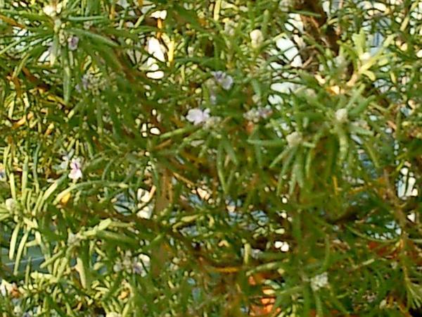 Rosemary (Rosmarinus Officinalis) http://www.sagebud.com/rosemary-rosmarinus-officinalis
