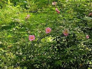ROPA/Rosa_palustris_flowering_branch_001_300.JPG