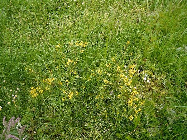 Bog Yellowcress (Rorippa Palustris) http://www.sagebud.com/bog-yellowcress-rorippa-palustris/
