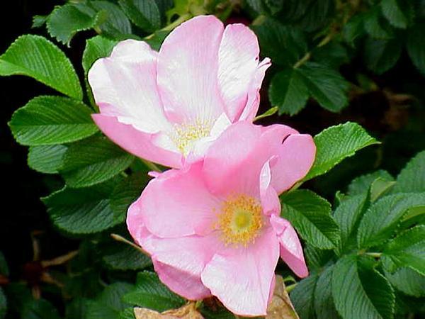 Rugosa Rose (Rosa Rugosa) http://www.sagebud.com/rugosa-rose-rosa-rugosa