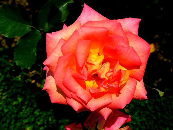 Rose (Rosa) http://www.sagebud.com/rose-rosa/