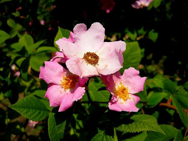 Climbing Rose (Rosa Setigera) http://www.sagebud.com/climbing-rose-rosa-setigera/