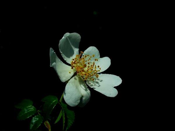 Evergreen Rose (Rosa Sempervirens) http://www.sagebud.com/evergreen-rose-rosa-sempervirens/