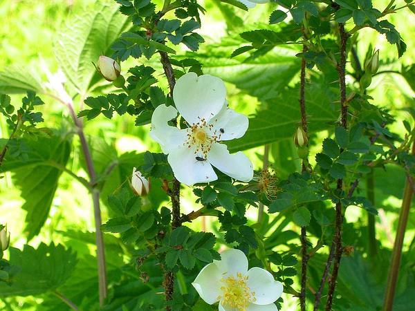 Scotch Rose (Rosa Spinosissima) http://www.sagebud.com/scotch-rose-rosa-spinosissima/