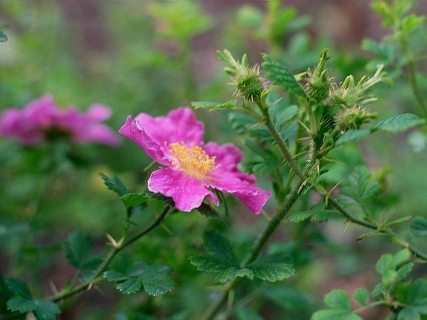 Desert Rose (Rosa Stellata) http://www.sagebud.com/desert-rose-rosa-stellata