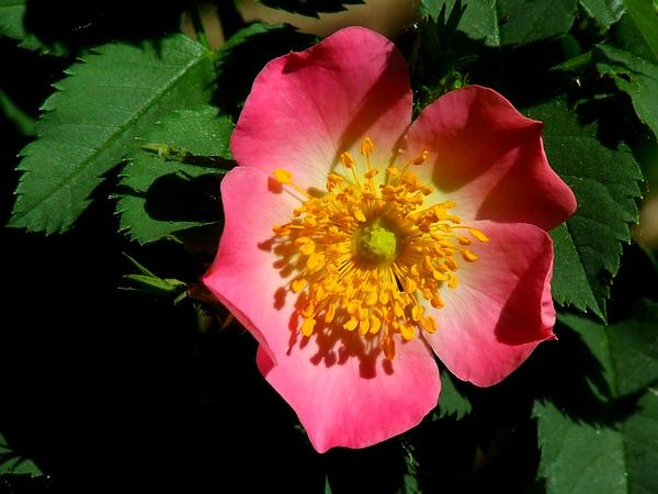 Apple Rose (Rosa Villosa) http://www.sagebud.com/apple-rose-rosa-villosa