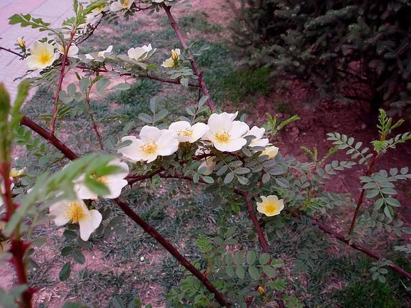 Yellow Rose (Rosa Xanthina) http://www.sagebud.com/yellow-rose-rosa-xanthina/