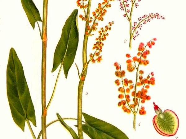 Garden Sorrel (Rumex Acetosa) http://www.sagebud.com/garden-sorrel-rumex-acetosa/