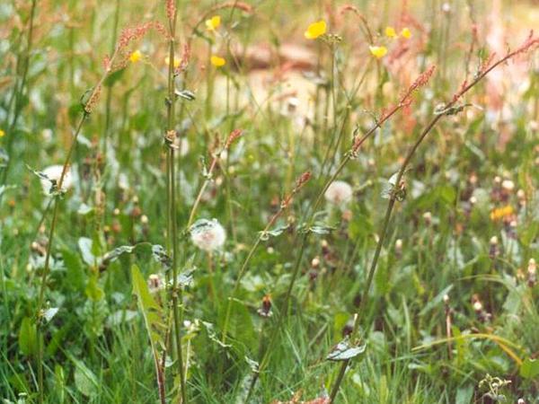Garden Sorrel (Rumex Acetosa) http://www.sagebud.com/garden-sorrel-rumex-acetosa