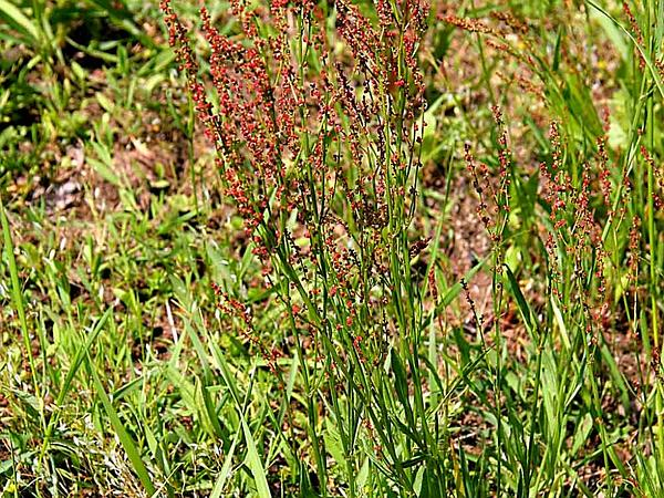 Common Sheep Sorrel (Rumex Acetosella) http://www.sagebud.com/common-sheep-sorrel-rumex-acetosella