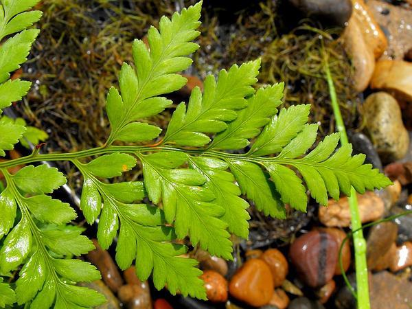 Iron Fern (Rumohra Adiantiformis) http://www.sagebud.com/iron-fern-rumohra-adiantiformis/