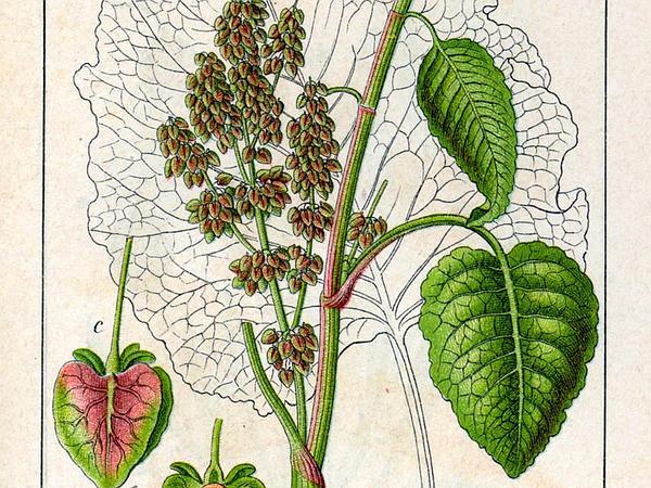 Munk's Rhubarb (Rumex Alpinus) http://www.sagebud.com/munks-rhubarb-rumex-alpinus