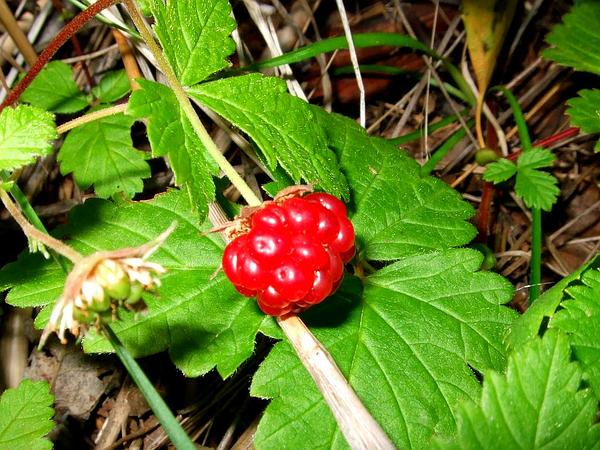Arctic Blackberry (Rubus Arcticus) http://www.sagebud.com/arctic-blackberry-rubus-arcticus