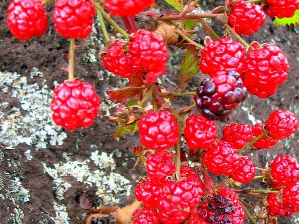 Sawtooth Blackberry (Rubus Argutus) http://www.sagebud.com/sawtooth-blackberry-rubus-argutus