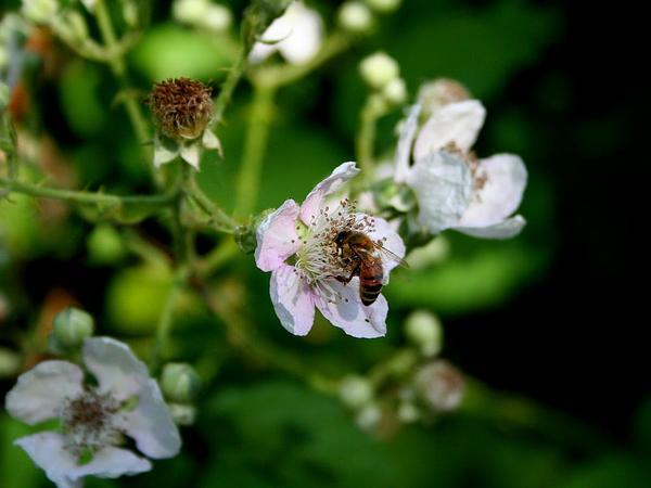 Himalayan Blackberry (Rubus Armeniacus) http://www.sagebud.com/himalayan-blackberry-rubus-armeniacus