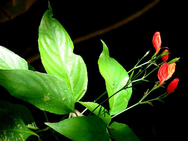 Tropical Wild Petunia (Ruellia Brevifolia) http://www.sagebud.com/tropical-wild-petunia-ruellia-brevifolia