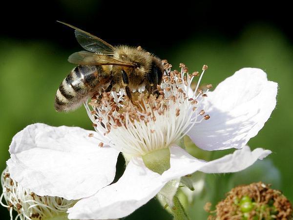 Blackberry (Rubus) http://www.sagebud.com/blackberry-rubus/
