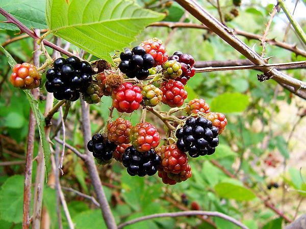 Blackberry (Rubus) http://www.sagebud.com/blackberry-rubus