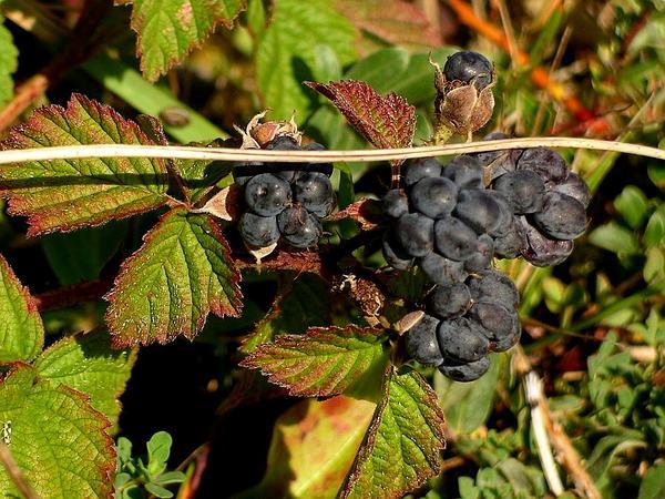 European Dewberry (Rubus Caesius) http://www.sagebud.com/european-dewberry-rubus-caesius