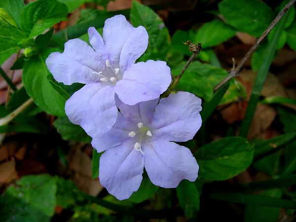 Carolina Wild Petunia (Ruellia Caroliniensis) http://www.sagebud.com/carolina-wild-petunia-ruellia-caroliniensis/