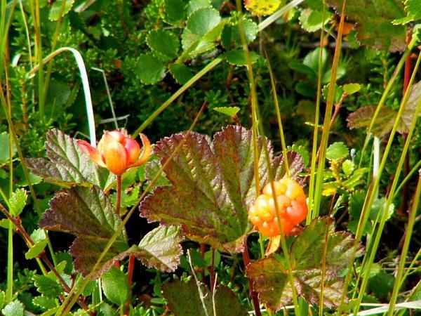 Cloudberry (Rubus Chamaemorus) http://www.sagebud.com/cloudberry-rubus-chamaemorus/