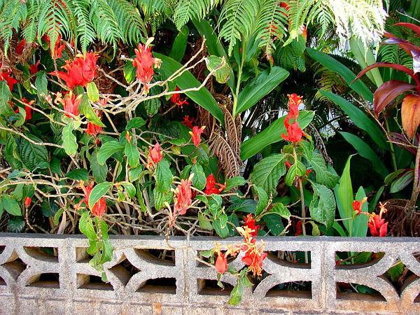 Peruvian Wild Petunia (Ruellia Chartacea) http://www.sagebud.com/peruvian-wild-petunia-ruellia-chartacea/