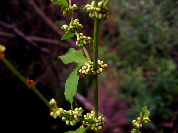 Clustered Dock (Rumex Conglomeratus) http://www.sagebud.com/clustered-dock-rumex-conglomeratus