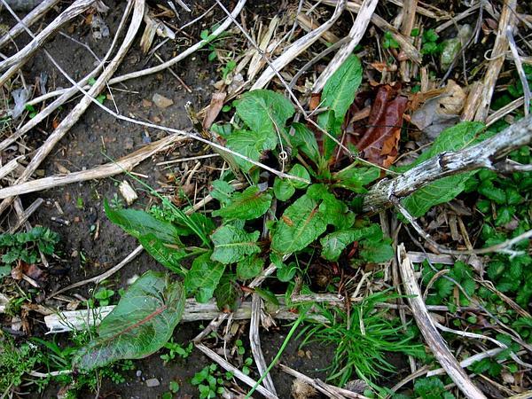 Curly Dock (Rumex Crispus) http://www.sagebud.com/curly-dock-rumex-crispus