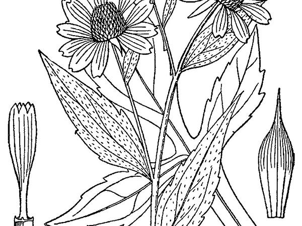 Line Drawing Coneflower : Sagebud grow your garden plant a tree pot flower