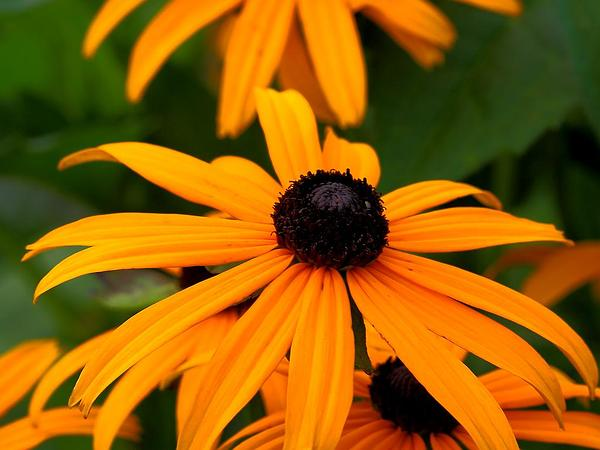 Coneflower (Rudbeckia) http://www.sagebud.com/coneflower-rudbeckia
