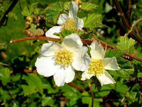 Delicious Raspberry (Rubus Deliciosus) http://www.sagebud.com/delicious-raspberry-rubus-deliciosus/