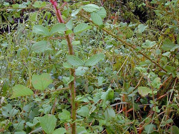 Yellow Himalayan Raspberry (Rubus Ellipticus) http://www.sagebud.com/yellow-himalayan-raspberry-rubus-ellipticus