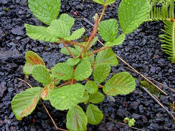 Yellow Himalayan Raspberry (Rubus Ellipticus) http://www.sagebud.com/yellow-himalayan-raspberry-rubus-ellipticus/