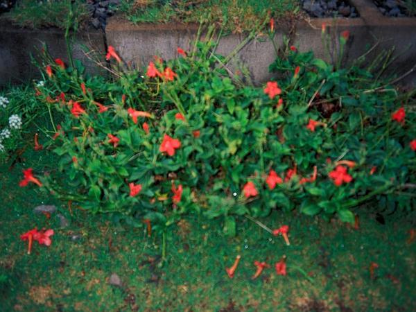 Wild Petunia (Ruellia) http://www.sagebud.com/wild-petunia-ruellia/