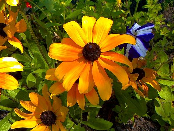 Orange Coneflower (Rudbeckia Fulgida) http://www.sagebud.com/orange-coneflower-rudbeckia-fulgida