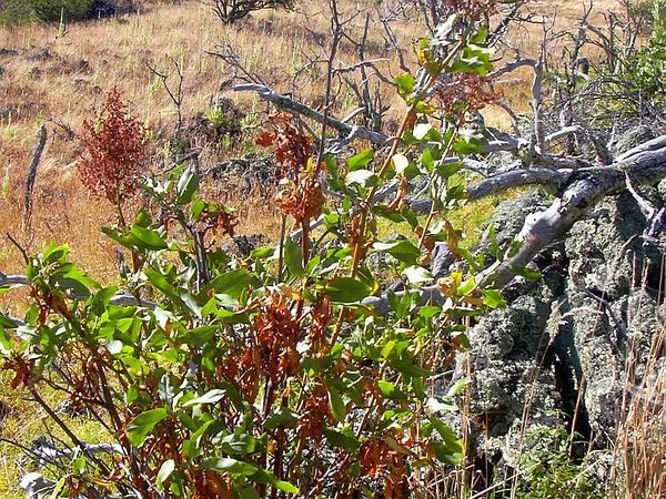 Pawale (Rumex Giganteus) http://www.sagebud.com/pawale-rumex-giganteus