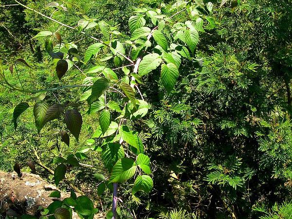 Andes Berry (Rubus Glaucus) http://www.sagebud.com/andes-berry-rubus-glaucus