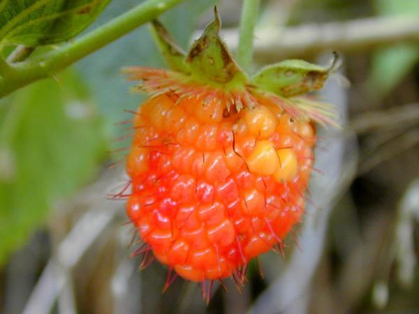 Hawai'I Blackberry (Rubus Hawaiensis) http://www.sagebud.com/hawaii-blackberry-rubus-hawaiensis